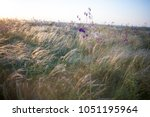 Small photo of Stipa Feather Grass or Needle Grass Nassella tenuissima
