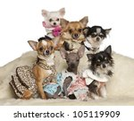 chihuahua puppies and adults in ... | Shutterstock . vector #105119909