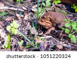 the pairing of common toads ... | Shutterstock . vector #1051220324