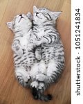 beautiful kittens sleep on the... | Shutterstock . vector #1051241834