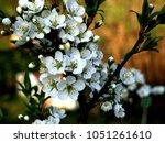 Small photo of White blossom of myrobalan plum, cherry plum tree, in the springtime, bokeh background