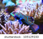 tropical aquarium mandarin fish ... | Shutterstock . vector #105129233