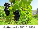 bunches of black grapes in... | Shutterstock . vector #1051312016