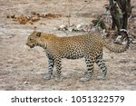 leopard walking through... | Shutterstock . vector #1051322579