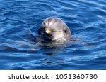 dolphin in ocean | Shutterstock . vector #1051360730