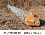 cuted beech tree trunk with in...   Shutterstock . vector #1051370183