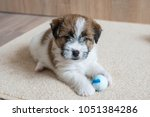 puppy jack russell plays with... | Shutterstock . vector #1051384286