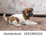 puppy jack russell terrier | Shutterstock . vector #1051384310
