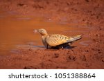 Small photo of Black Bellied Sandgrouse male on the floor (Pterocles orientalis)
