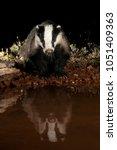 european badger drinking water... | Shutterstock . vector #1051409363