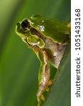 Small photo of Italian tree frog (Hyla intermedia)