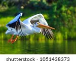 American White Pelican Flying...