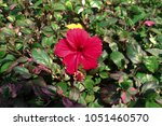 Small photo of Red crake flower