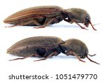 Small photo of Agriotes lineatus (top) and Agriotes obscurus (down) are a beetles from the family of Elateridae. It larvae are important pest in soil of many crops.