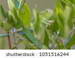 Small photo of African chameleon (Chamaeleo africanus) climbing on branch in tree habitat and peeking through leaves