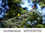 goldfinch and house finch males ... | Shutterstock . vector #1051520720