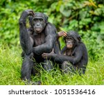 female bonobo with a baby is... | Shutterstock . vector #1051536416