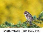tree sparrow  passer montanus | Shutterstock . vector #1051539146