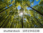 poplar plantation at spring... | Shutterstock . vector #1051543238