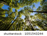 poplar plantation at spring... | Shutterstock . vector #1051543244