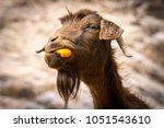 Funny goat eating a orange...