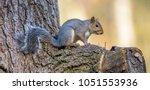 Gray Squirrel In An Oak Tree.