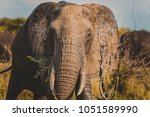 big elephant in kruger national ... | Shutterstock . vector #1051589990