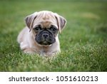 cute baby pug chihuahua mix... | Shutterstock . vector #1051610213