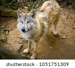 himalayan wolf  a subspecies of ... | Shutterstock . vector #1051751309