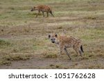 spotted hyenas  hyena walking... | Shutterstock . vector #1051762628