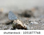 Small photo of Butterfly from the Taiwan (Celastrina sugitanii shirozui) Cedar Valley Glass butterfly in water