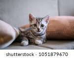 Stock photo cute american short hair cat cub 1051879670