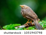 Small photo of Jungle babbler in the wild