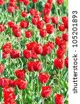garden with tulip flowers in... | Shutterstock . vector #105201893
