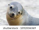close-up portrait of a Australian sea lion pup, Seal Bay Conservation Park, kangaroo   island, australia