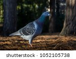 feral pigeon in bournemouth park | Shutterstock . vector #1052105738