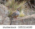 Small photo of Chukar (partridge) (alectoris)
