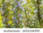 rosemary blue blossom on... | Shutterstock . vector #1052136590
