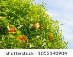 Orange Tree Branches With Ripe...