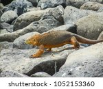 marine iguana on santiago... | Shutterstock . vector #1052153360