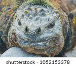 marine iguana on santiago... | Shutterstock . vector #1052153378