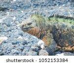 marine iguana on santiago... | Shutterstock . vector #1052153384