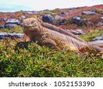 marine iguana on santiago... | Shutterstock . vector #1052153390
