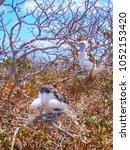 two young frigatebirds fregata... | Shutterstock . vector #1052153420