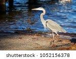 heron walking near the grand... | Shutterstock . vector #1052156378