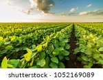 Green ripening soybean field ...