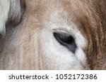 Head And Eye Detail Of An Ox....