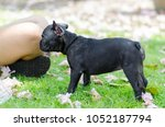 black french bulldog puppy... | Shutterstock . vector #1052187794