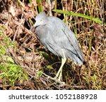 little blue heron at everglades ... | Shutterstock . vector #1052188928