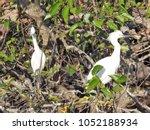 snowy egrets in everglades... | Shutterstock . vector #1052188934